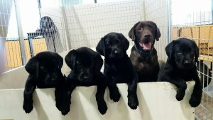 Labs of Love / Mother Coco with Puppies